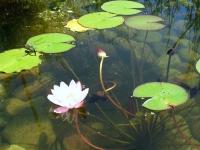 Teich mit Seerose und Libelle