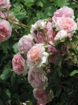 Rosa 'James Galway'