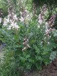der Diptam (Dictamnus albus) blüht und dufted